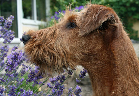 Hugo the Irish Terrier Pictures 676313