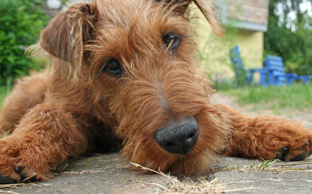 Hugo the Irish Terrier Pictures 676314