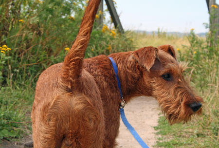 Hugo the Irish Terrier Pictures 676316