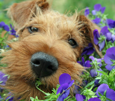 Hugo the Irish Terrier Pictures 676317