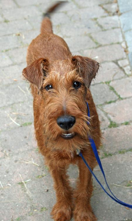 Hugo the Irish Terrier Pictures 676318