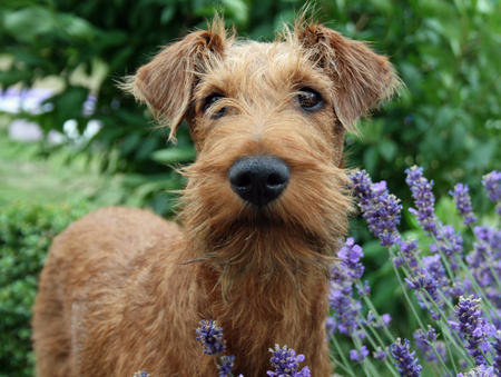 Hugo the Irish Terrier Pictures 676312