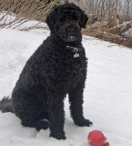 Hugo the Portuguese Water Dog Pictures 448242