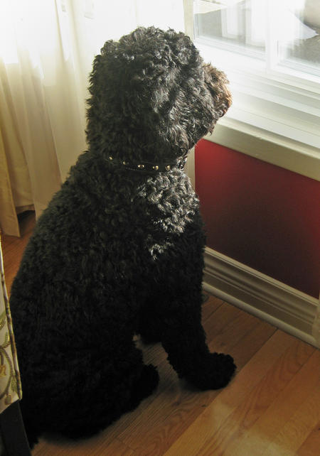 Hugo the Portuguese Water Dog Pictures 448245