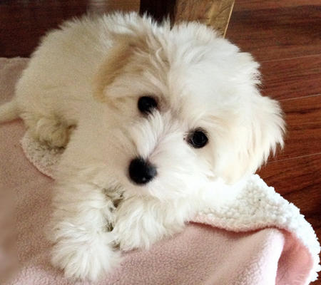 Hunny the Coton de Tulear Pictures 999575