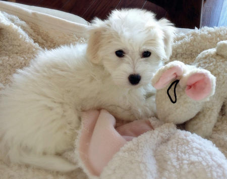 Hunny the Coton de Tulear Pictures 999576