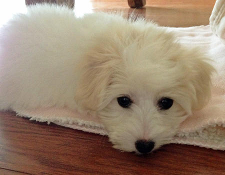 Hunny the Coton de Tulear Pictures 999577