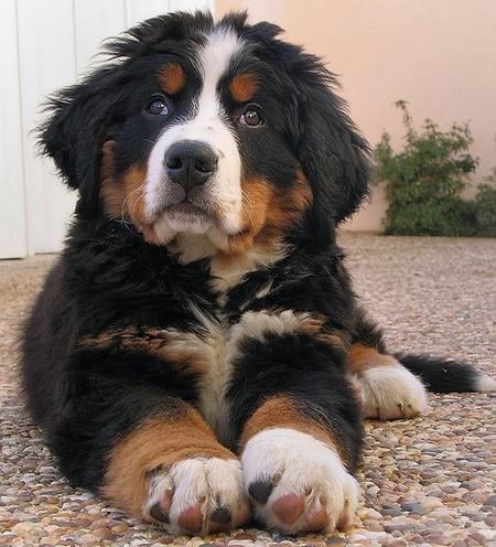 Hunter the Bernese Mountain Dog  Pictures 419353