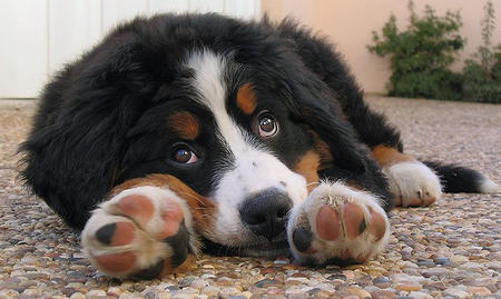 Hunter the Bernese Mountain Dog  Pictures 419354