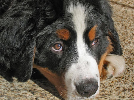 Hunter the Bernese Mountain Dog  Pictures 419355