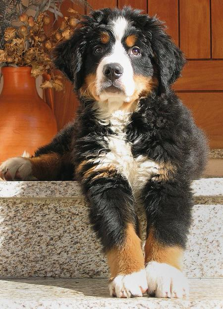 Hunter the Bernese Mountain Dog  Pictures 419356
