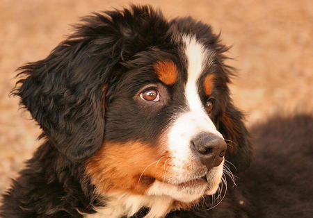 Hunter the Bernese Mountain Dog  Pictures 419358