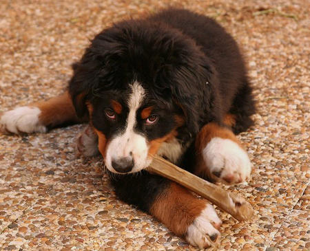 Hunter the Bernese Mountain Dog  Pictures 419350