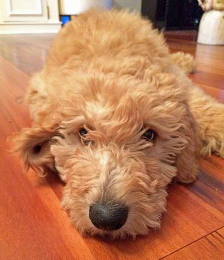 Hunter the Goldendoodle Pictures 1020728