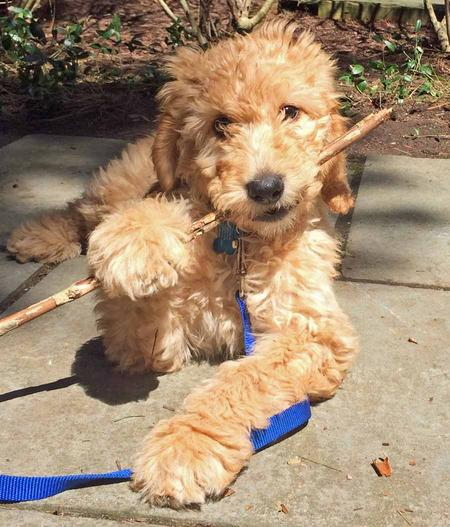 Hunter the Goldendoodle Pictures 1020729