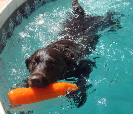 Hunter the Labrador Retriever Pictures 840264