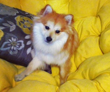 Hunter the Pomeranian Pictures 954026