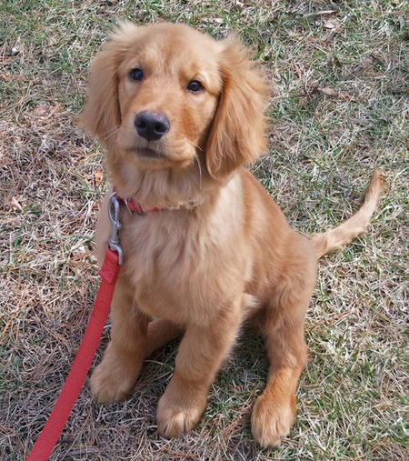 Hurley the Golden Retriever Pictures 754721