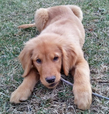 Hurley the Golden Retriever Pictures 754722