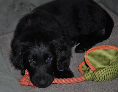 Icarus the Flat Coated Retriever Pictures 902864