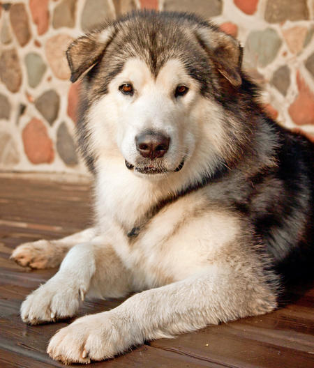 Ice the Alaskan Malamute Pictures 858065