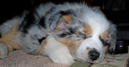 Ice the Australian Shepherd Pictures 532920