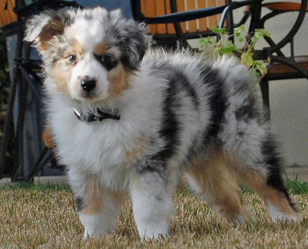 Ice the Australian Shepherd Pictures 532922