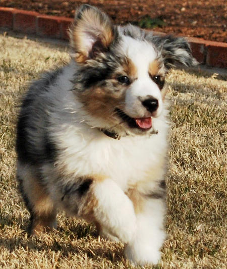 Ice the Australian Shepherd Pictures 532923