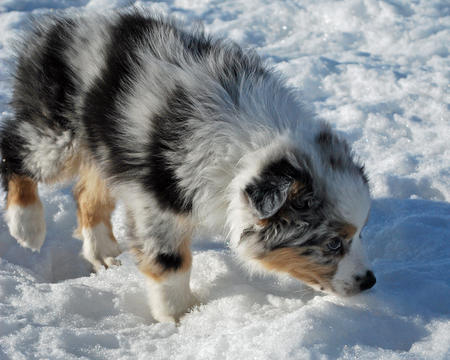 Ice the Australian Shepherd Pictures 532925