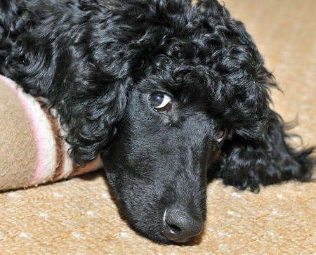 Inca the Poodle Pictures 745183