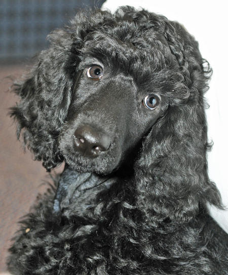 Inca the Poodle Pictures 745189
