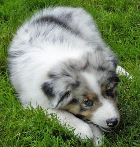Indiana the Australian Shepherd Pictures 931408