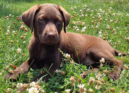 Indiana the Labrador Retriever Pictures 918030