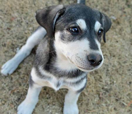 Indie Blue the Husky Mix Pictures 1019718