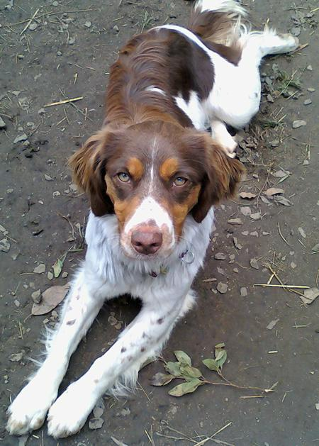 Indie the Brittany Pictures 663906