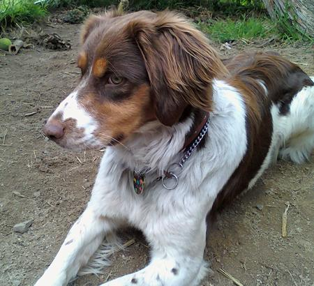 Indie the Brittany Pictures 663908