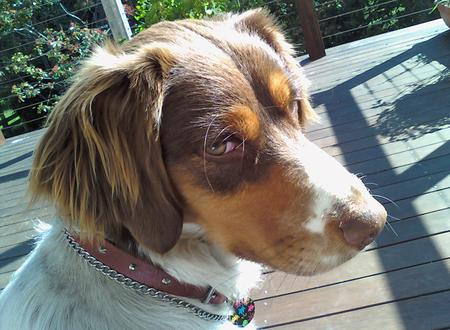 Indie the Brittany Pictures 663910