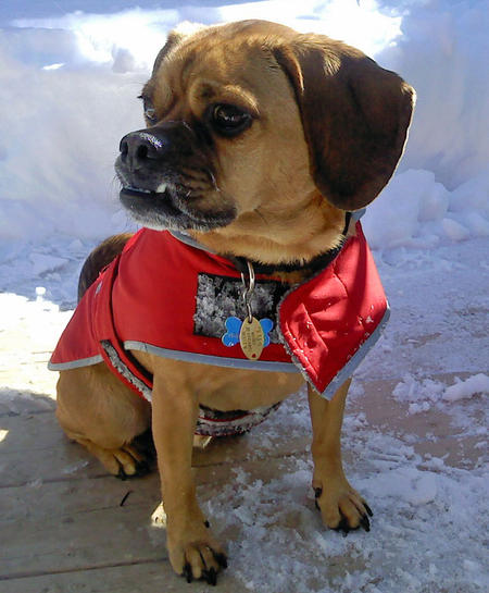 Indy the Puggle Pictures 868461