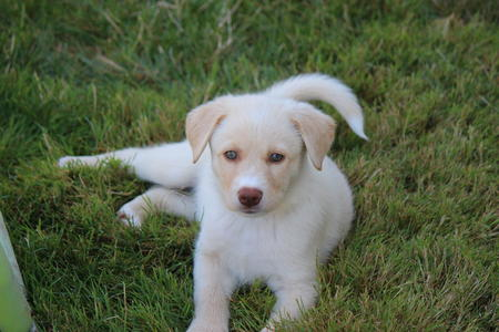 Ivory the Retriever Mix Pictures 1059721