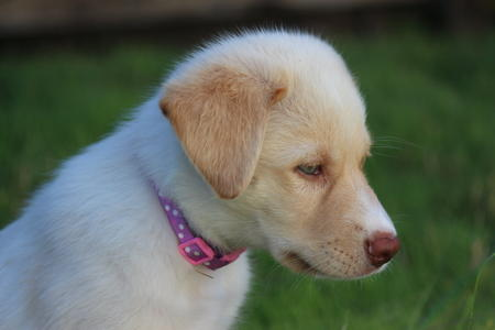 Ivory the Retriever Mix Pictures 1059722