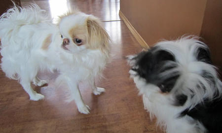 Ivy the Japanese Chin Pictures 833008