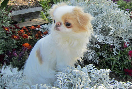 Ivy the Japanese Chin Pictures 833007