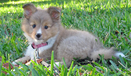 Ivy the Sheltie Mix Pictures 893412