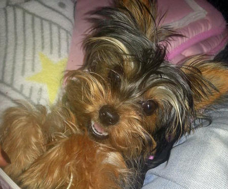 Ivy the Yorkshire Terrier Pictures 1029538