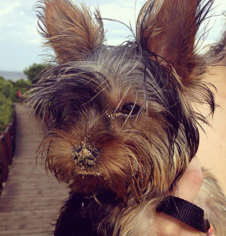 Ivy the Yorkshire Terrier Pictures 1029539