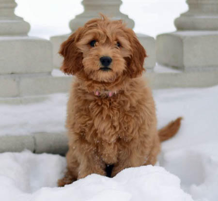 Izze the Goldendoodle Pictures 1003236