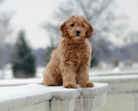 Izze the Goldendoodle Pictures 1003238