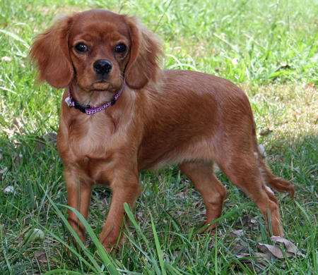 Izzy the Cavalier King Charles Spaniel Pictures 676894