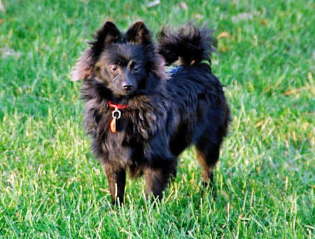 Izzy the Pomeranian Pictures 581467