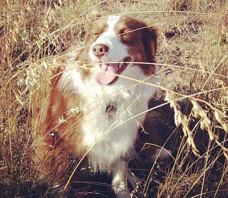 Jack Jack the Australian Shepherd Pictures 977842